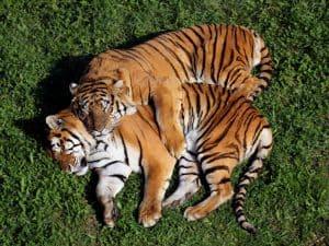 Tygrys - dał nazwę viagrze. Czy viagra działa?