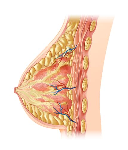 Illustration of the human breast - cross section