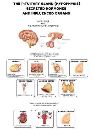 Prolaktyna (PRL) to hormon wydzielany przez przysadkę mózgową; źródłem prolaktyny mogą być komórki układu odpornościowego.