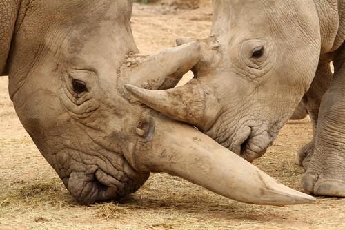 W świecie zwierząt erotyka zawsze wiąże się z walką. Najpierw samiec musi swoją samicę wywalczyć, a ptem zainteresowac ją sobą, Te zaloty zazwyczaj przybierają formę słodkich igraszek - prężenie muskułów., podgryzanie, podszczypywanie, iskanie - cała gama zachowań, która ma tylko jeden cel : przedłużenie gatunku