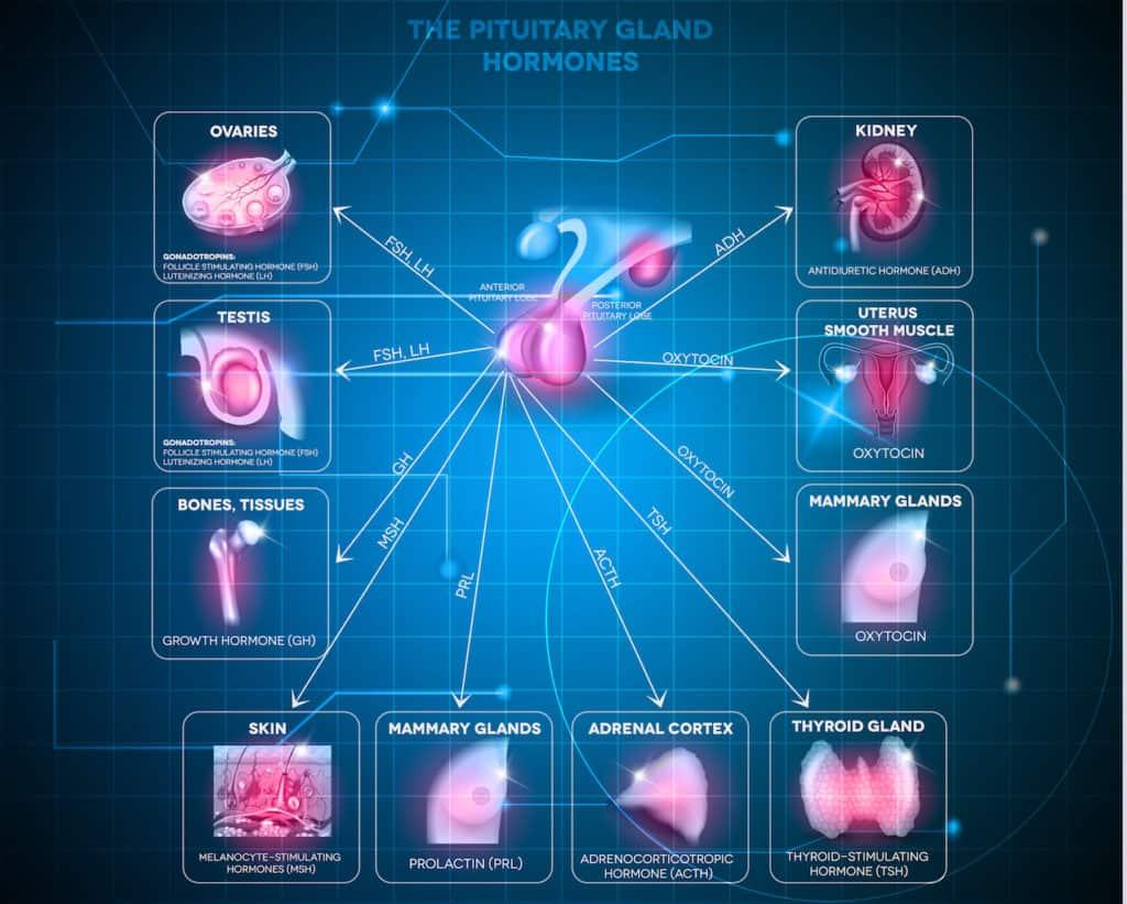 Wyrzot hormonów - działanie przysadki mózgowej