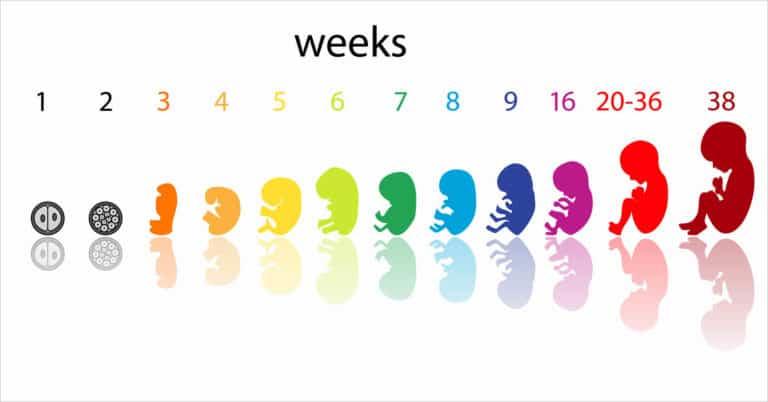 Komórka jajowa – rozwój po zapłodnieniu